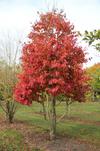 IJzerboom - bron: tentoven-bomen