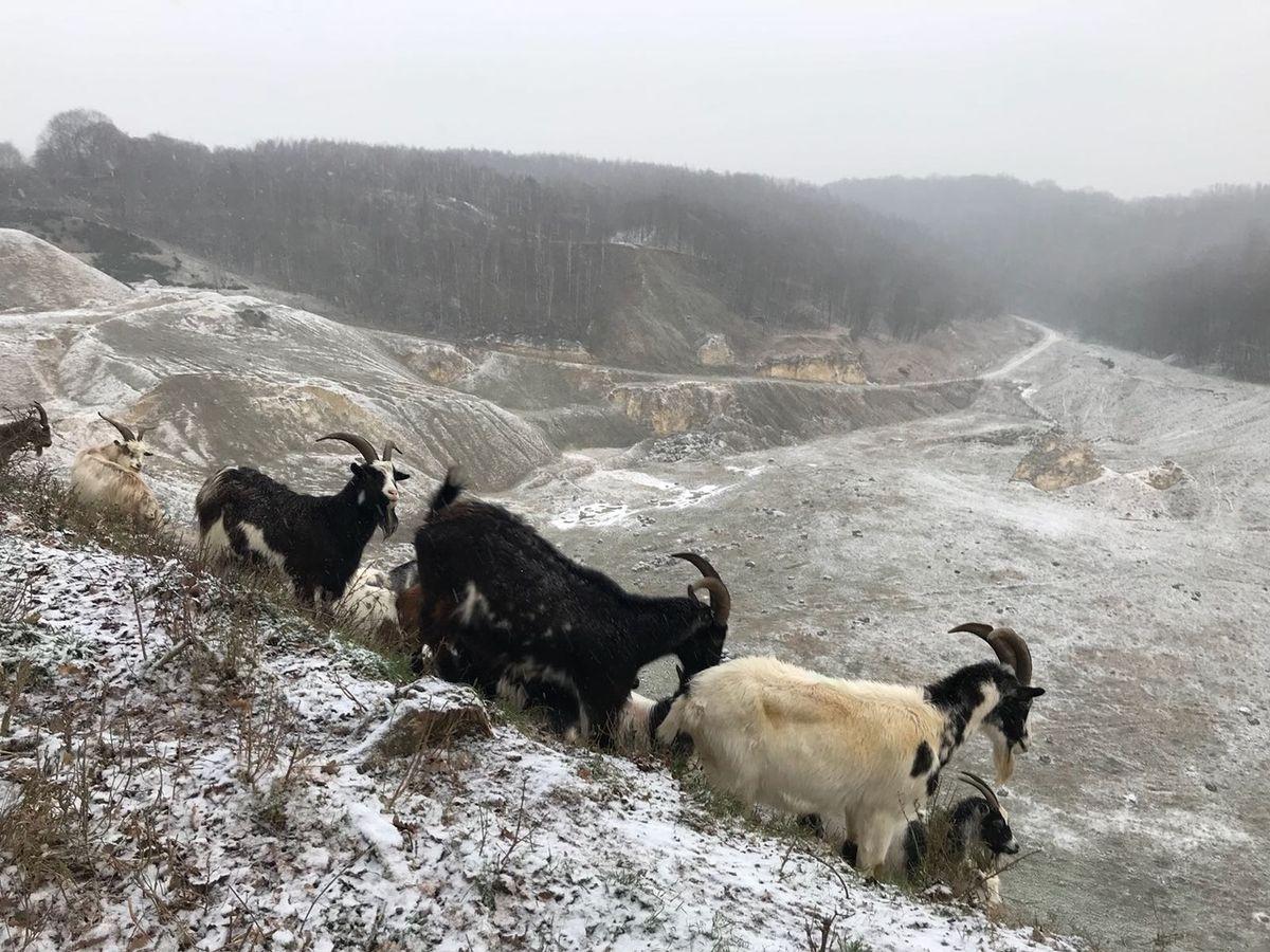 Wilde geiten bij Curfsgroeve